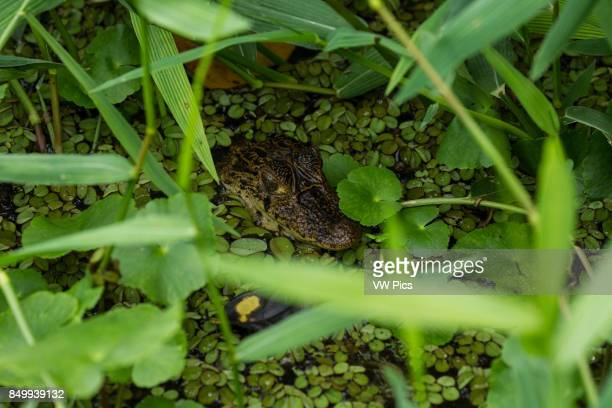 This young Spectacled Caiman Caiman crocodilus patiently waits for unsuspecting prey to get too close It is found in much of Central and South...
