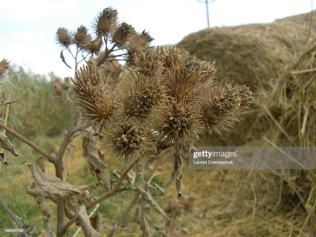 Cardo flor : Foto de stock