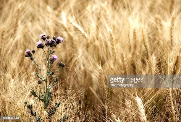 Thistle in wheat field