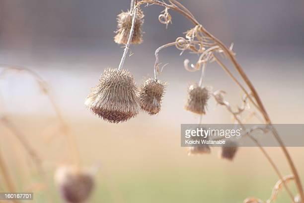 Thistle (Cirsium sieboldii)