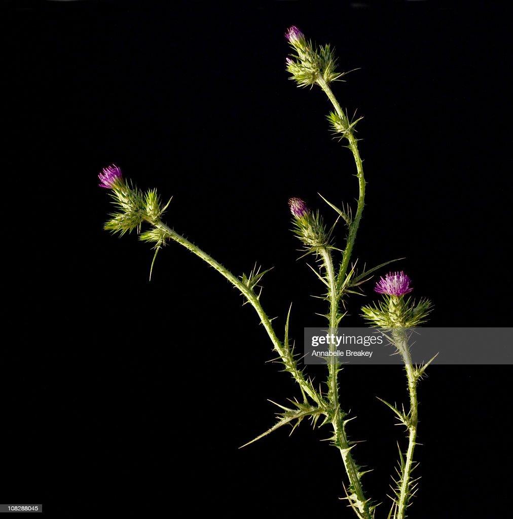 Thistle Plant on Dark Background
