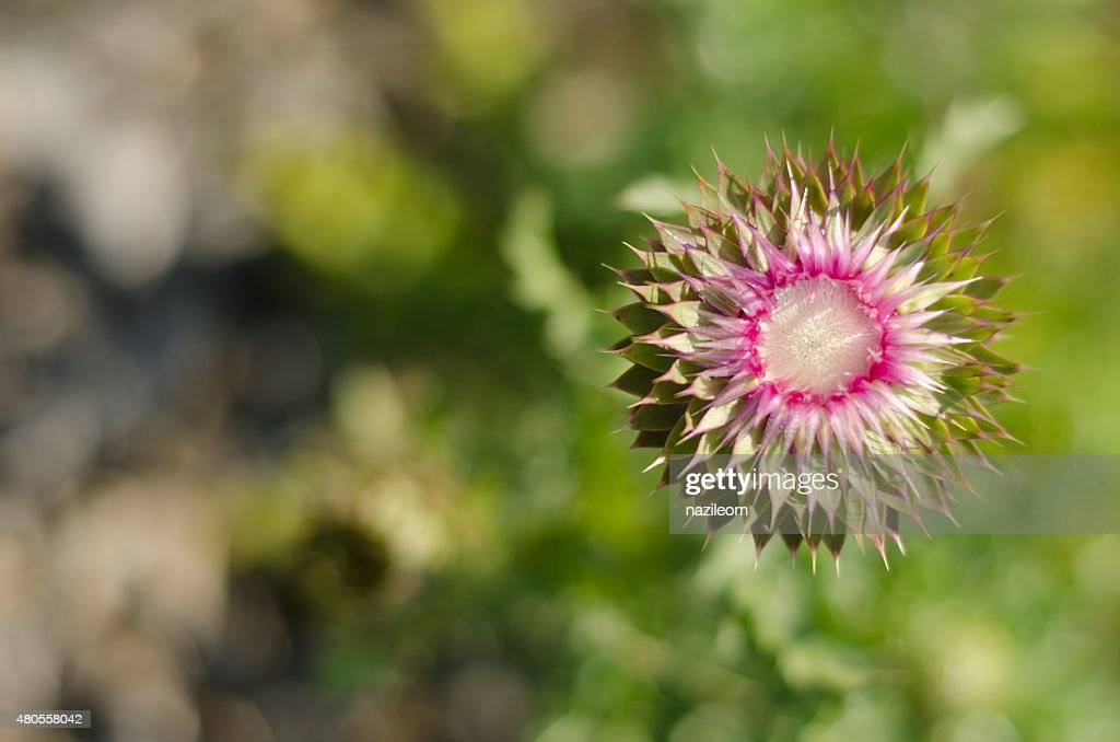 thistle top view close-up : Stock Photo