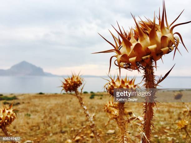 Thistles growing near the sea, northern Sicily