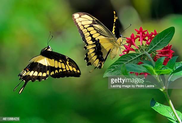 Thoas SwallowtailButterflies in courtship display.