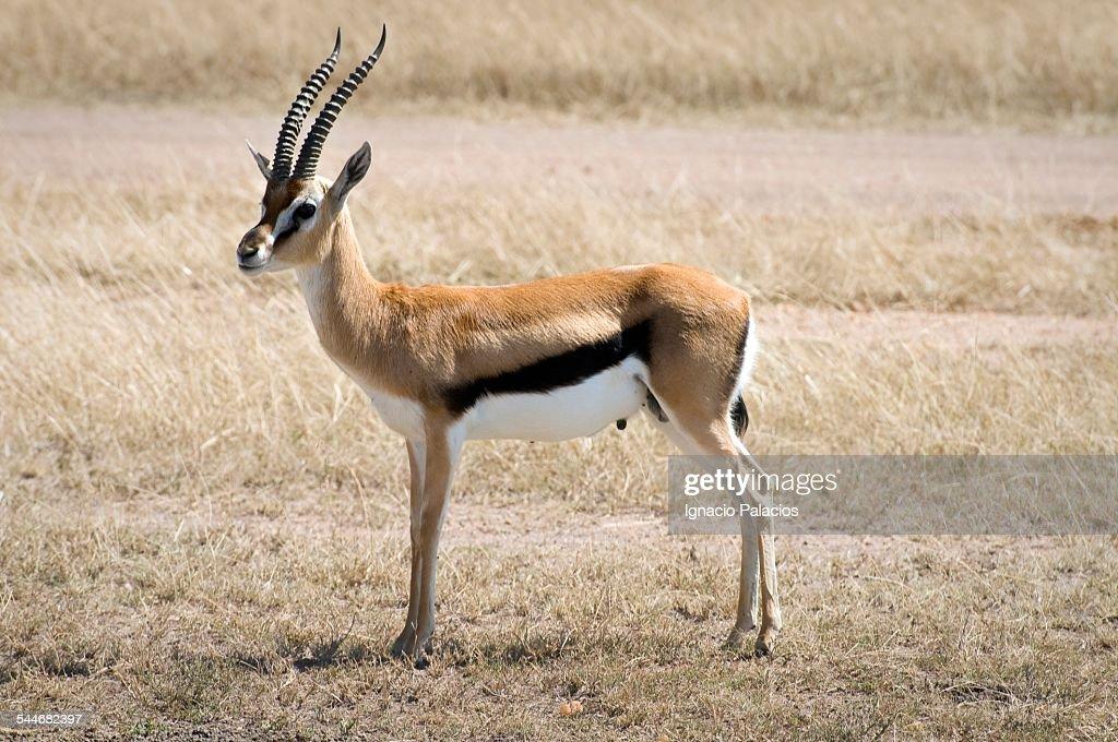 Thomson gazelle in Masai Mara