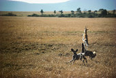 Thomson's gazelle chased by wild dogs