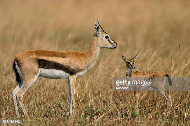 Thomson's Gazelle Eudorcas Thomsoni Stock Photos and ...