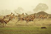 Thomson's gazelle running, Africa