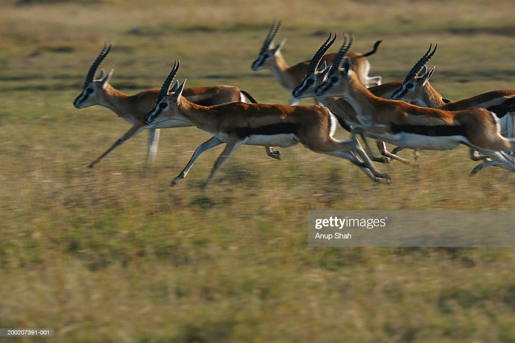 Thomson's gazelles (Gazella thomsonii) running, Masai Mara, Kenya