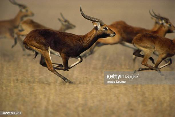 Thomson's gazelles running