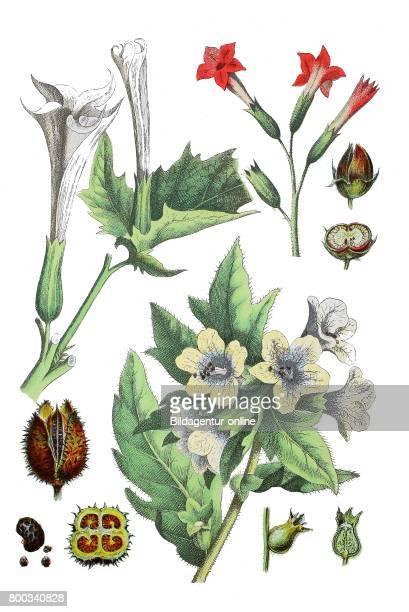 Thornapple Datura stramonium tobacco Nicotiana tabacum black henbane Hyoscyamus niger