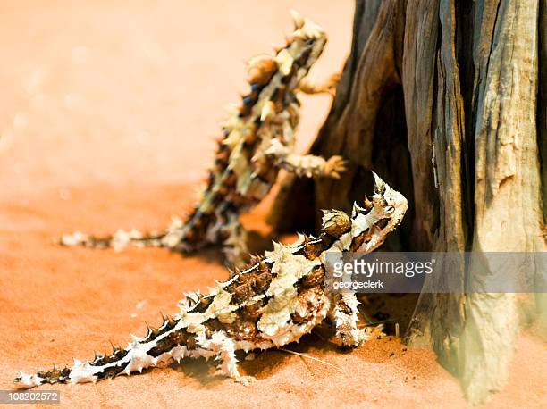 Thorny Devil Lizards