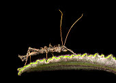 Thorny Stick Insect (Parobrimus sp., Phasmatodea family),  Andean foothills, Ecuador