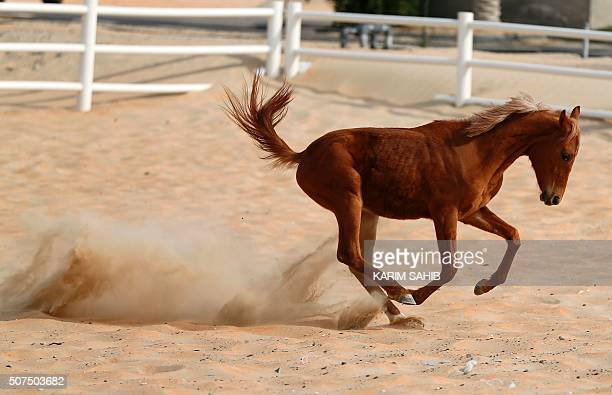 A thoroughbred Arab foal runs in a paddock at the AlDhafra Equestrian Club in the desert near the city of Madinat Zayed 150 kilometres west of Abu...