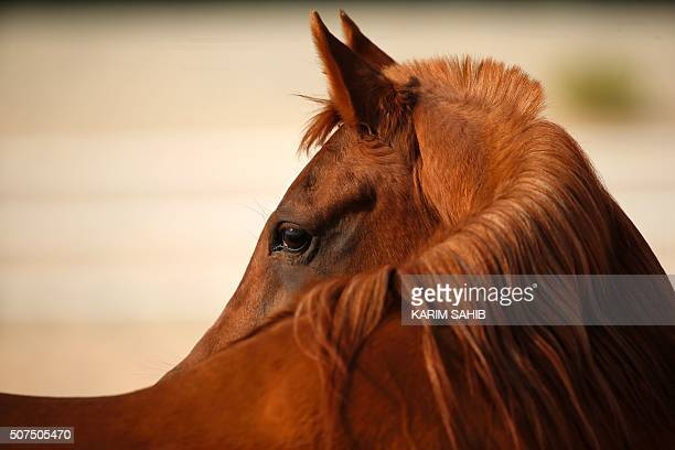 A thoroughbred Arab horse is seen in a paddock at the AlDhafra Equestrian Club in the desert near the city of Madinat Zayed 150 kilometres west of...