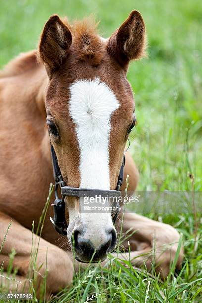 Thoroughbred Horse Colt