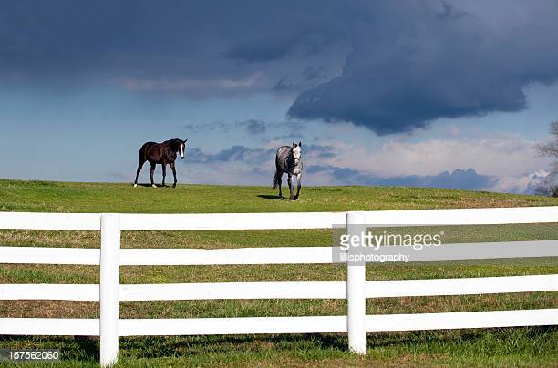 Thoroughbred Horses in Pasture