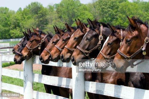 Thoroughbred Horses on Farm