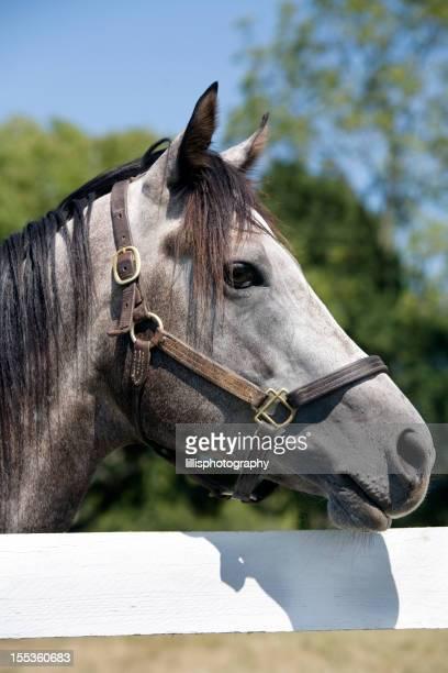 Thoroughbred Racehorse on Farm