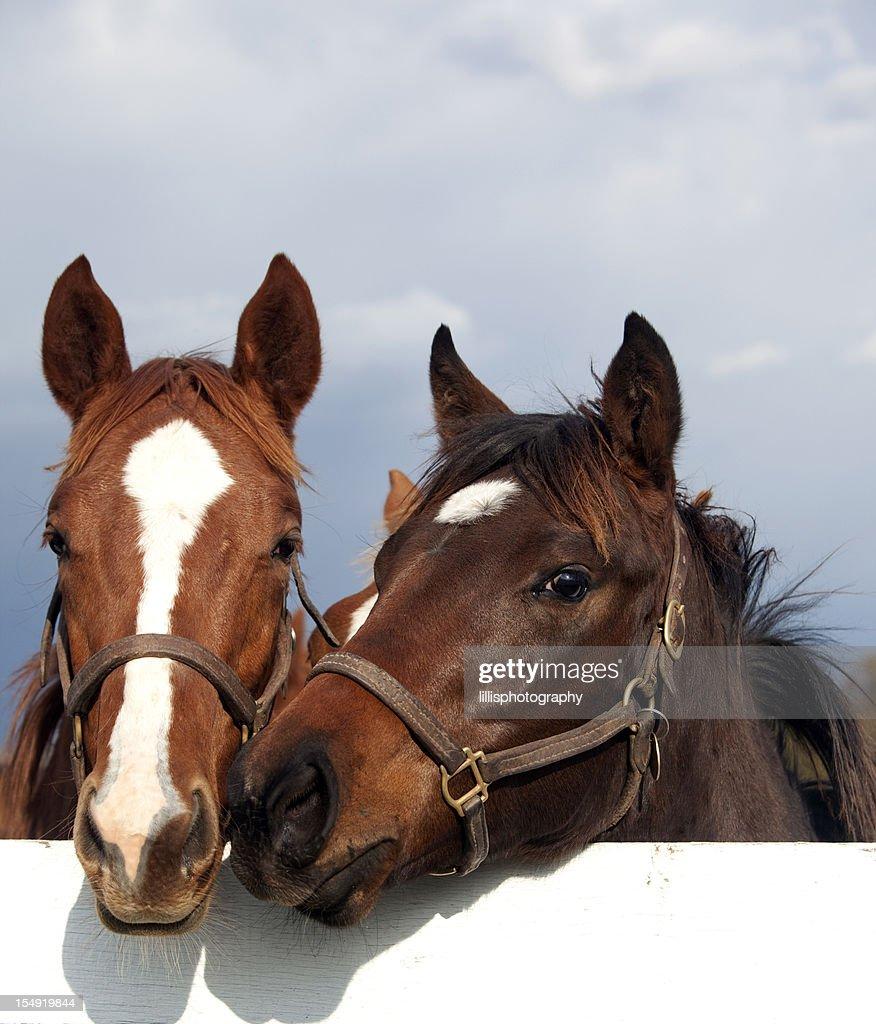 Thoroughbred Racehorses : Stock Photo