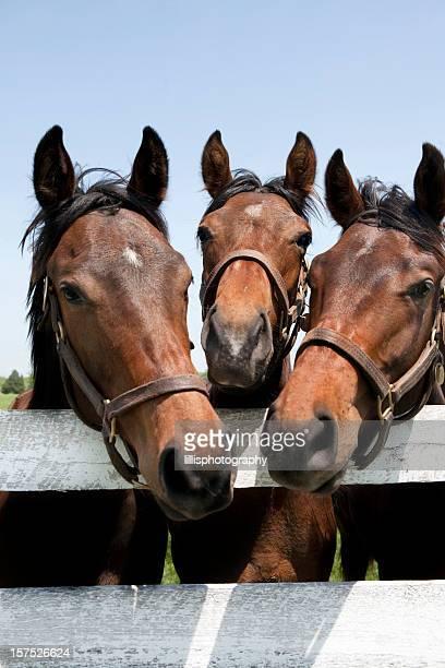 Racehorses puro sangue