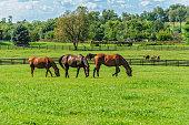 Thoroughbreds grazing on horse farm