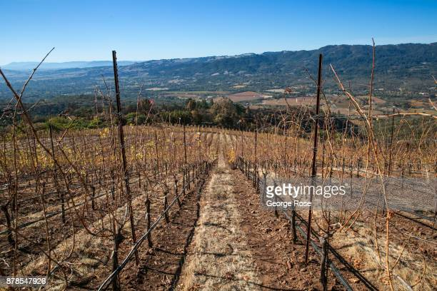 Though vineyards in the Moon Mountain AVA were burned or slightly damaged experts agreet that with proper pruning the vines will come back to life...
