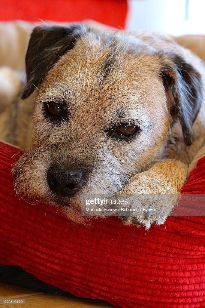 Thoughtful Dog Relaxing At Home Stock Photo Getty Images