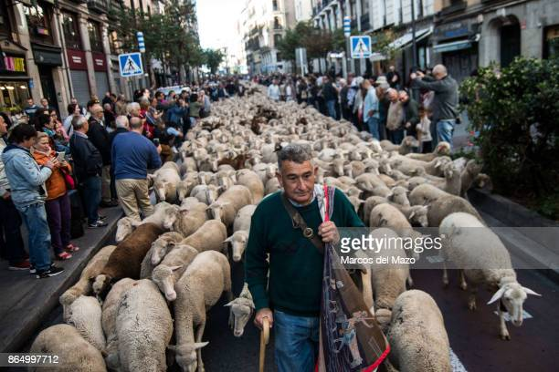 Thousand sheep are guided through the streets during the annual transhumance festival
