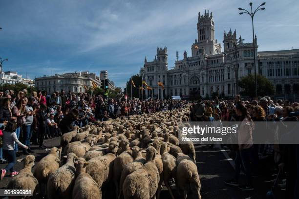 Thousand sheep cross the streets during the annual transhumance festival