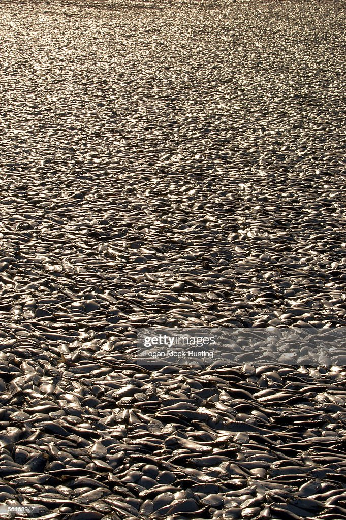 Thousands of dead Menhaden fish are seen on the beach on December 19, 2005 in Wrightsville Beach, North Carolina. Environmentalist and the North Carolina Division of Marine Fisheries are speculating that the cause of death may have been caused by a drastic change in water temperature or a large fishing net that broke. Fish and water samples have been sent to the state capital of Raleigh for testing, the results being expected later this week.