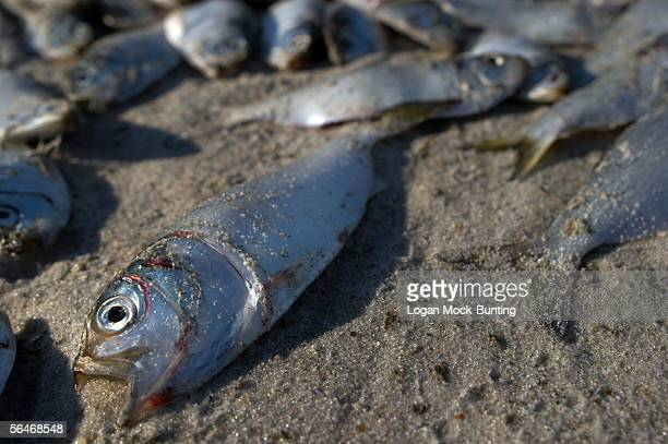 Thousands of dead menhaden fish are seen on the beach on December 19 2005 in Wrightsville Beach North Carolina Environmentalist and the North...