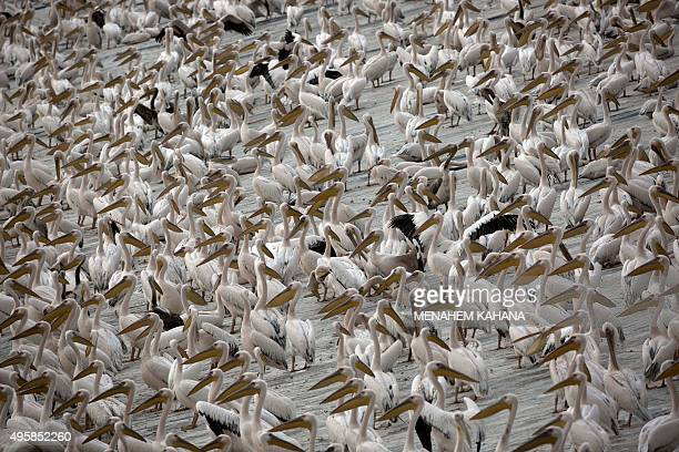 Thousands of great white pelicans wait to eat fish provided by Israeli farmers at a water reservoir in the Emek Hefer valley north of the Israeli...