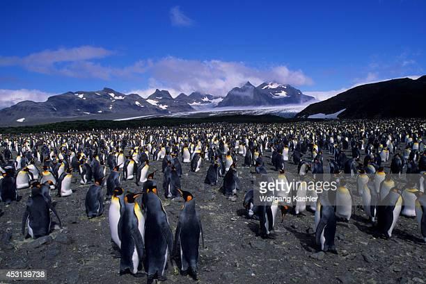 Thousands of King penguins nest at Salisbury Plain on South Georgia Island a subAntarctic island
