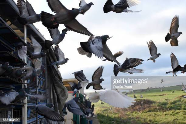 Thousands of racing pigeons are released during a race in Spain of 400 kilometres between Almazán and Barcelona