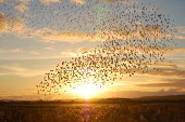 thousands of starlings at sunset