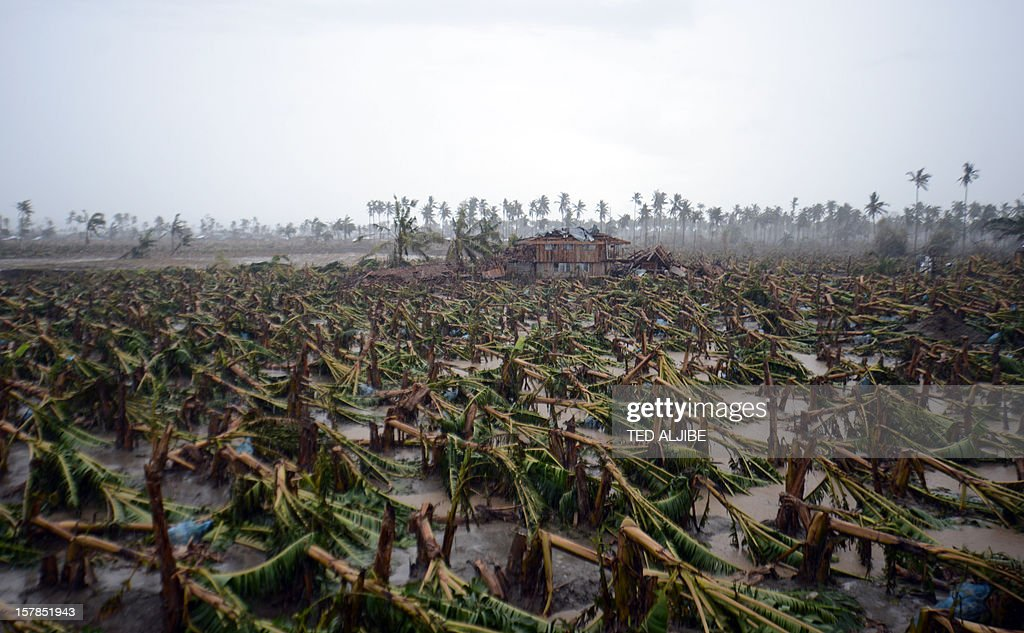 Thousands of typhoon toppled banana trees are seen on a plantation in New Bataan, Compostela Valley province on December 7, 2012. President Benigno Aquino vowed action on the Philippines' typhoon disasters December 7 as bruised and grieving survivors tried to recover from the latest that left nearly 500 people dead.