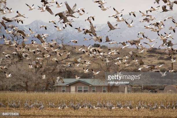 Thousands snow geese sandhill cranes flying over home New Mexico