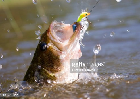 thrashing bass hooked on a jig