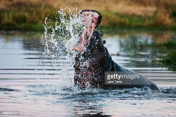 Threat display by a hippo in a hippo pool
