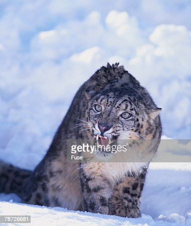 Threatened Snow Leopard