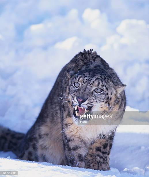 Threatened Snow Leopard