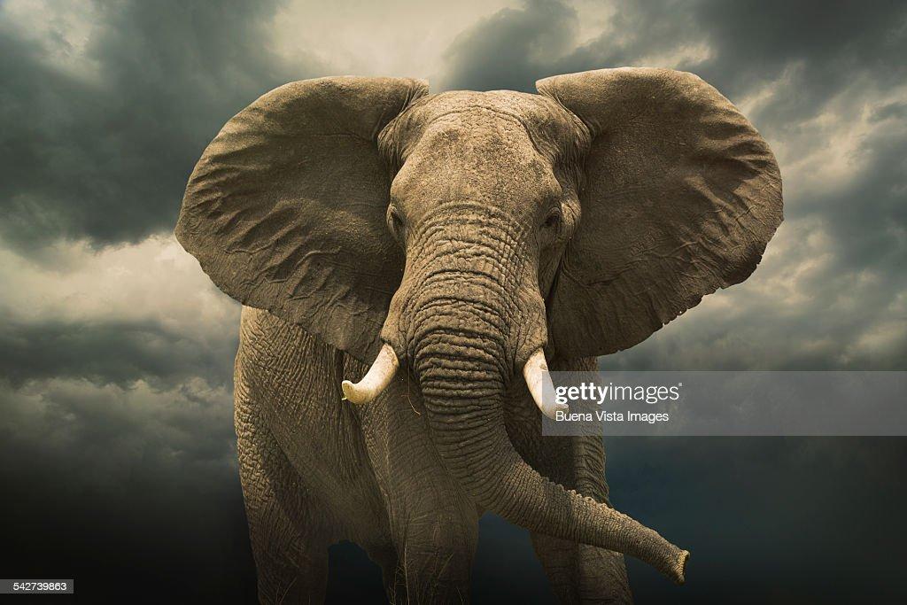 Threatening african elephant under cloudy sky