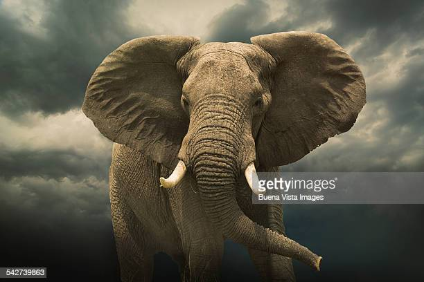 Threatening african elephant under cloudy sky