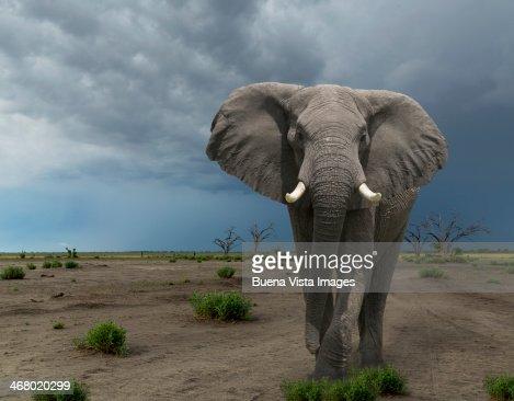 threatening elephant (Loxodonta africana)