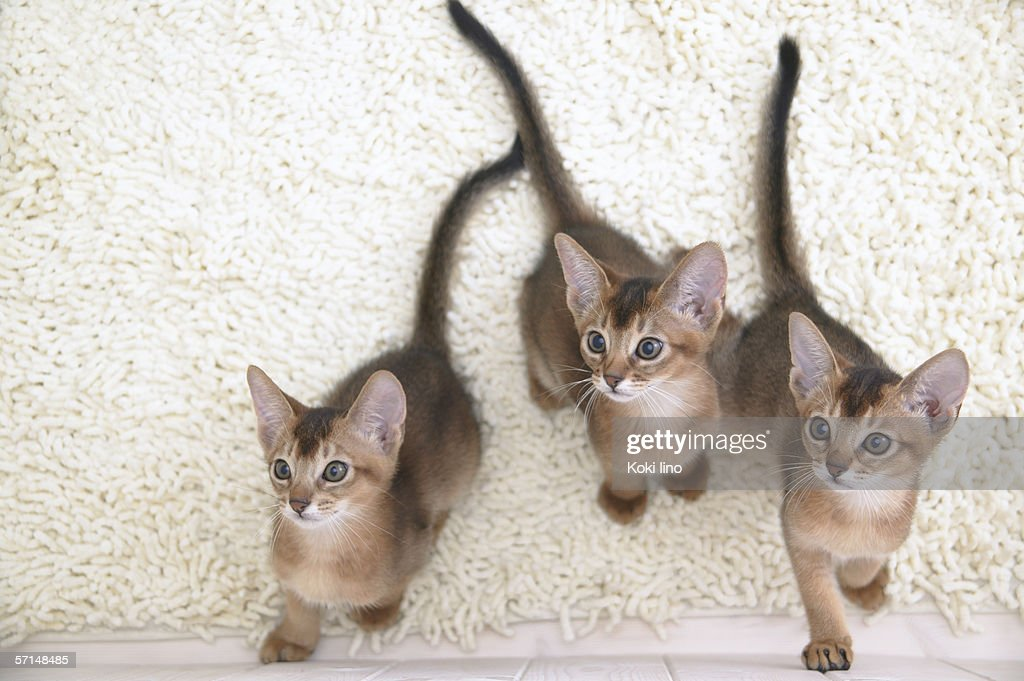 Three Abyssinian cats looking up : Stock Photo