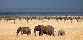 Three African Elephants (Loxodonta) walking in Kenyas Masai Mara.