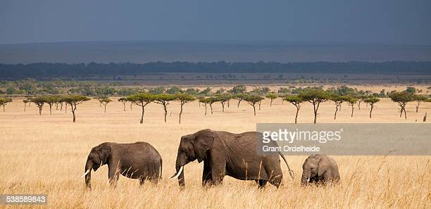 Three African Elephants (Loxodonta) walking in Kenyas Masai Mara.