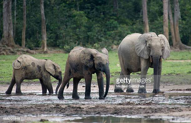 Bayanga Central African Republic March 15 Three African forest elephants at Dzanga Bai Saline in Dzanga National Park at triangle of Democratic...