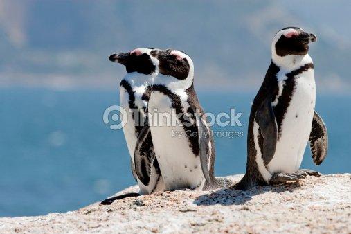 Three African (Jackass) Penguins : Stock Photo